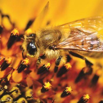Biene auf Sonnenblume, Sortenbestimmun von Honig nach den deutschen Leitsätzen
